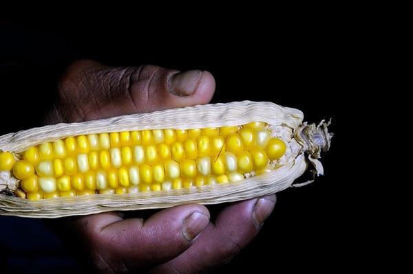 Maíz, frijoles y plátano son algunos de los cultivos de esta población. La mayoría para consumo propio y una parte para intercambio o venta en Turrialba.